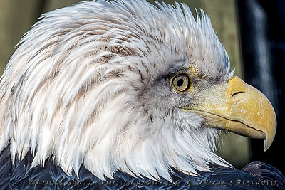 The Bald Eagle is watching YOU :)