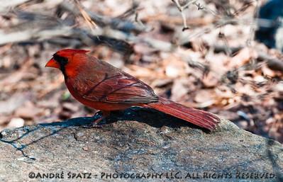 Red Bird -1-