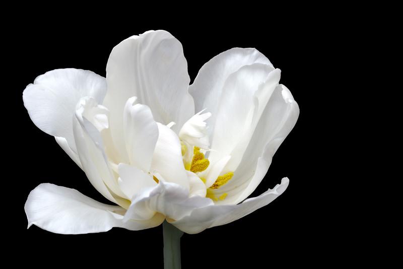 White double tulip on black background