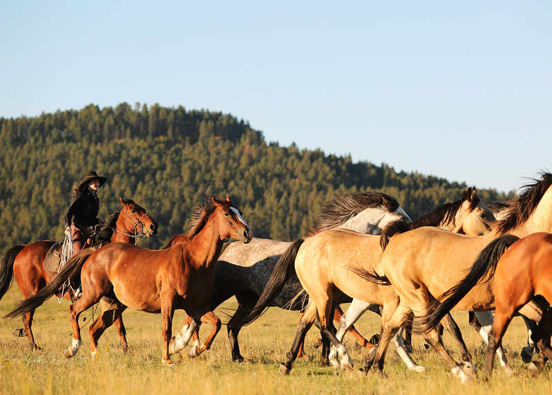 Cowgirl gathering horses.