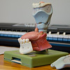 Model of mouth and vocal cords at Bastian Voice Institute. Downers Grove, IL