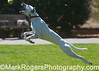 Air Emily<br /> Dalmatian-Whippet Mix<br /> Saint Mary's Dog Park, San Francisco