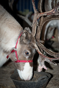 The Countryside Restoration Trust Reindeer Evening