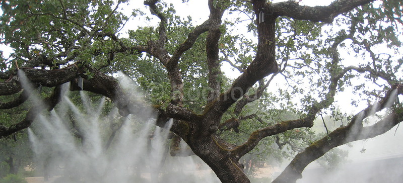 Mumm Oak Tree