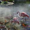 Flamingos and Coy Fish