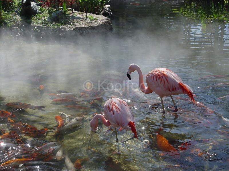 Flamingos and Coy Fish