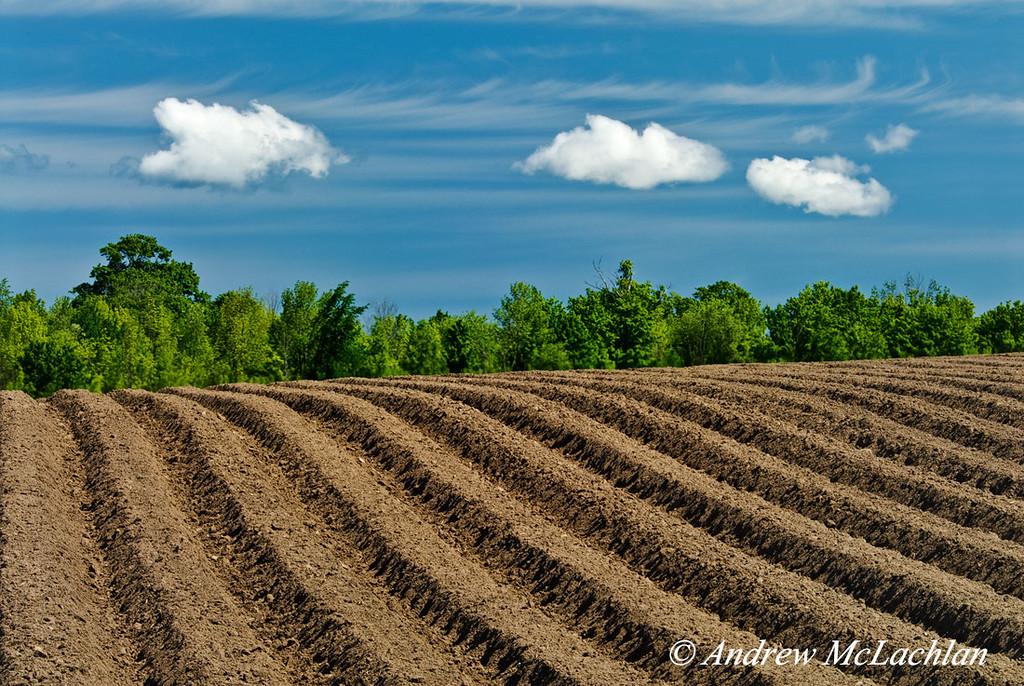 Newly Sowed Potato Crop, Thornton, Ontario, Canada