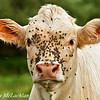 Charolais calf and flies