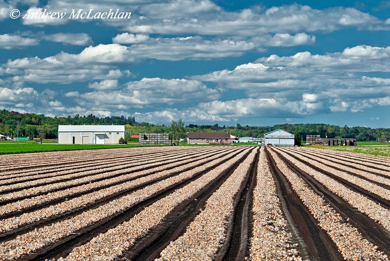 Onions in the Holland Marsh near Bradford, Ontario, Canada