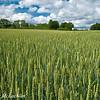 Winter Wheat Crop, Thornton, Ontario, Canada