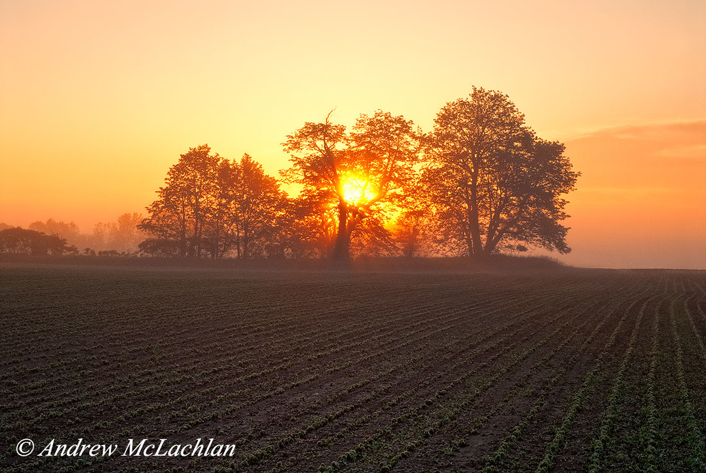 Soy Bean Crop at Sunrise, Thornton, Ontario, CAnada