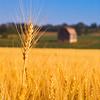 Winter Wheat, Thornton, Ontario, Canada