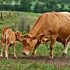Blonde d'Aquitaine Cow With Calf