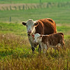 Hereford with calf