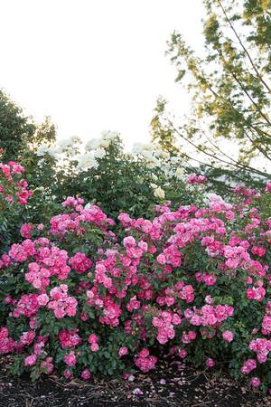 Rosa 'BAIset' Sunrise Sunset_6698