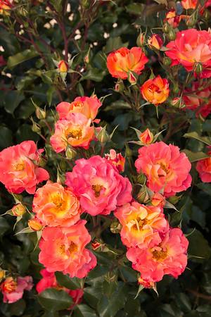 Rosa 'BAIove' - Coral Cove_5256