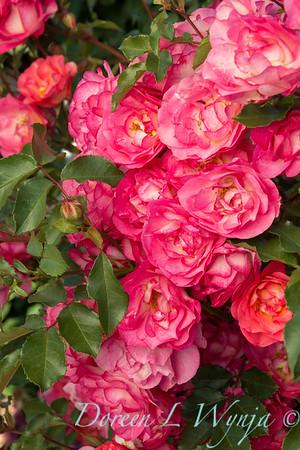 Rosa 'BAIset' - Sunrise Sunset_5219
