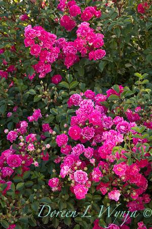 Rosa 'BAIief' - Little Mischief_5246