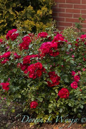 Rosa 'BAltown' - Paint the Town_5163