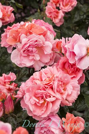 Rosa 'BAInce' - Sweet Fragrance_5102