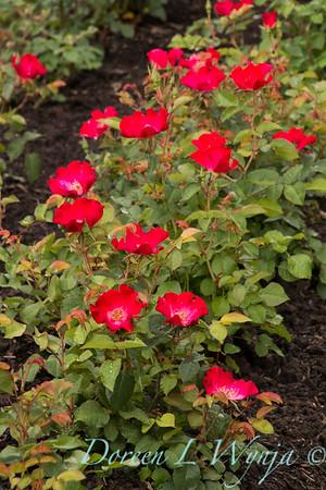 Rosa 'BAlneon' - Screaming Neon Red_5074-2