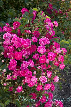 Rosa 'BAIief' - Little Mischief_5247