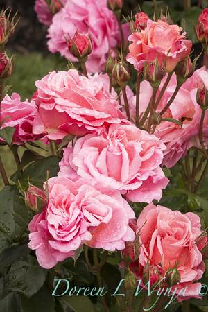 Rosa 'BAIsme' - Kiss Me_5096