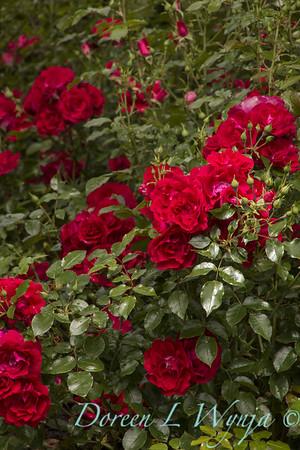 Rosa 'BAltown' - Paint the Town_5112