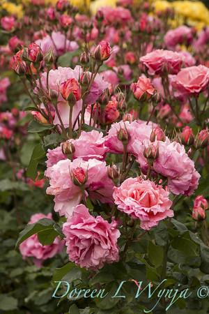 Rosa 'BAIsme' - Kiss Me_5091