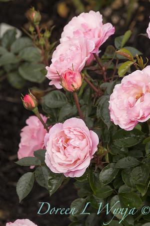 Rosa 'BAlypso' - Calypso_5072