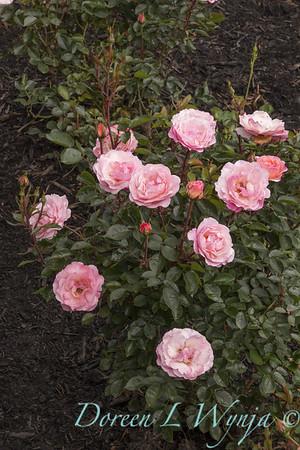 Rosa 'BAlypso' - Calypso_5067