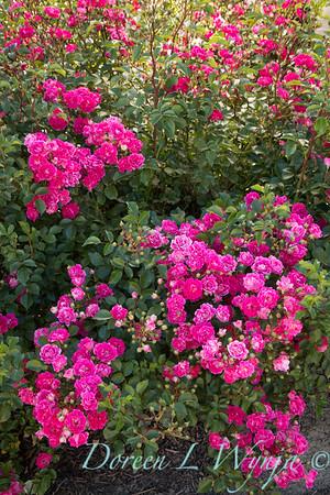 Rosa 'BAIief' - Little Mischief_5244