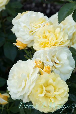 Rosa 'BAIoad' - Yellow Brick Road_5185