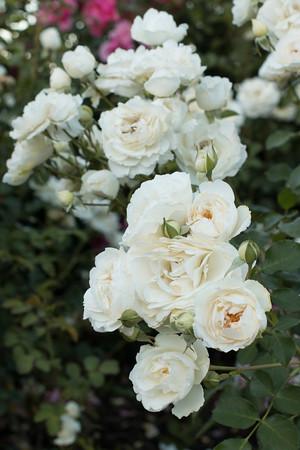 Rosa 'BAIrift' Snowdrift_7200
