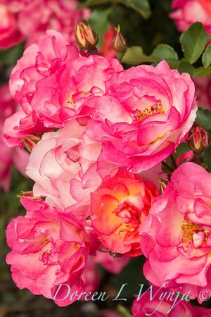 Rosa 'BAIset' - Sunrise Sunset_5225