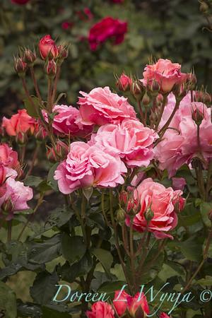 Rosa 'BAIsme' - Kiss Me_5093