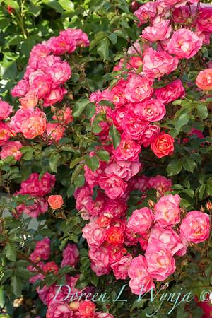 Rosa 'BAIset' - Sunrise Sunset_5215