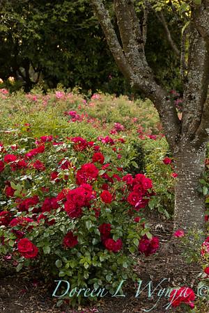 Rosa 'BAltown' - Paint the Town_5166