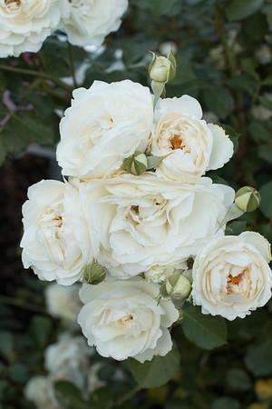 Rosa 'BAIrift' Snowdrift_7197