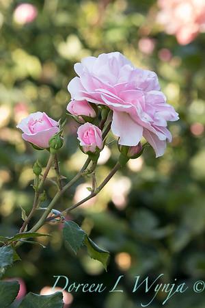 Rosa 'Bonica' shrub rose_3747