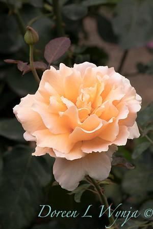 Rosa 'Just Joey' hybrid tea rose_3666