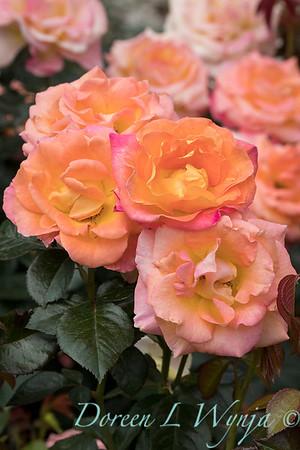 Rosa 'Day Breaker' floribunda rose_3721