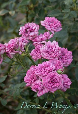 Rosa 'Lavender Jewel' miniature rose_3662Rosa 'Lavender Jewel' miniature rose_3664