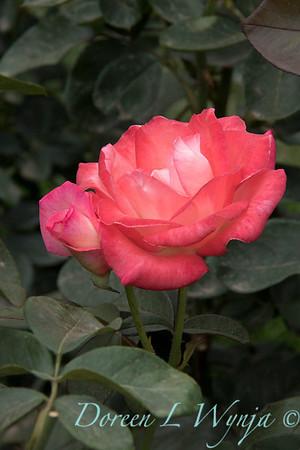 Rosa 'Gemini' hybrid tea rose_3609