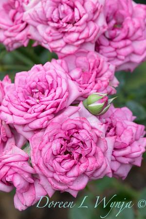Rosa 'Lavender Jewel' miniature rose_3661