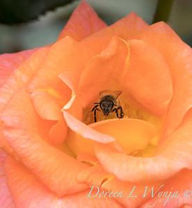 Rosa 'Day Breaker' floribunda rose_3708