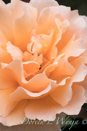 Rosa 'Just Joey' hybrid tea rose_3671