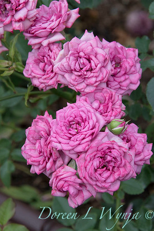 Rosa 'Lavender Jewel' miniature rose_3655