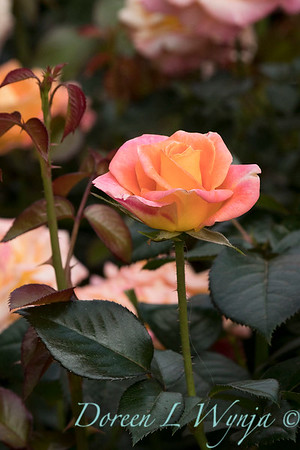 Rosa 'Day Breaker' floribunda rose_3725