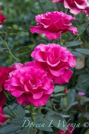 Rosa 'Fame' grandiflora hybrid tea rose_3787